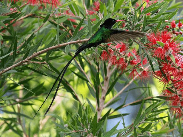 Kolibrík z Jamajky